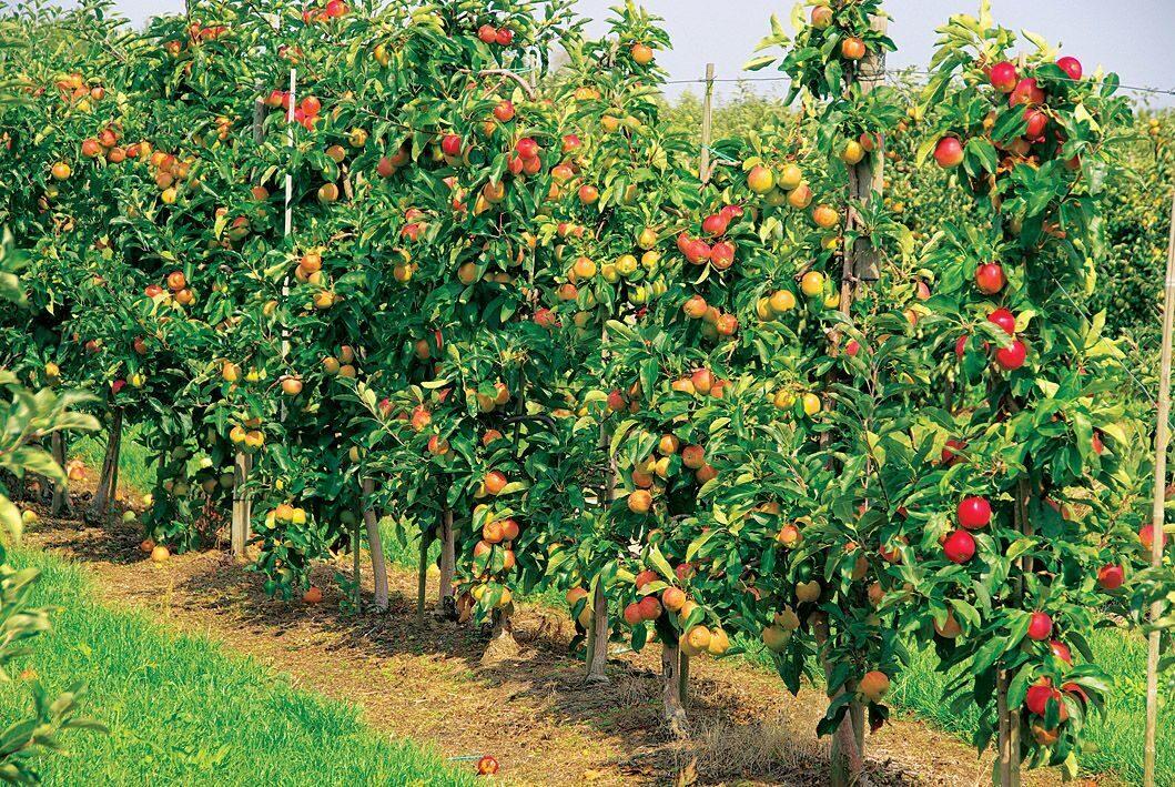 секс низкорослые плодовые деревья для сада фото и названия сколько еще