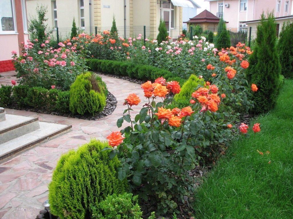 розы на садовом участке фото фартуки для