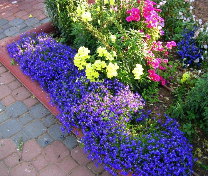 лобелия фото цветов в клумбе идеи частном доме