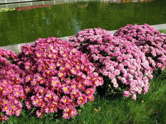 хризантема 2