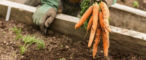 морковь1