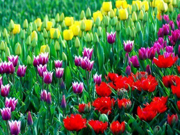 тюльпан1