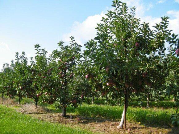 плодовый сад1