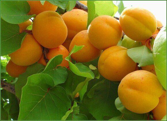 плодовые1